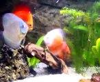 discus aquarium 240 litres