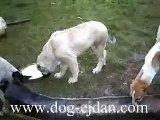 turkish kangal,kangal,deliorman kangal www.dog-ejdan.com