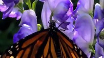 Discovery Channel Animals   Discovery Channel Documentary   Butterfly Documentary 2015 HD f134 mp4