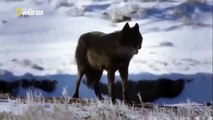 Discovery Channel Animals   Discovery Channel Documentary   Black Wolf Documentary 2015 HD f134 mp4
