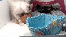 Cupcake Kittens - Sugarplum moves the babies