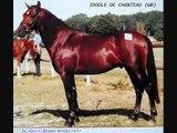 Idoole de Chanteau (WB) - Etalon agréé Welsh Pony et améliorateur PFS