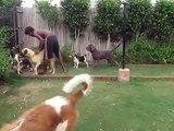 Dog Home-saint bernard,beagles & mastiffs