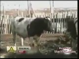 Cow Humps Farmer