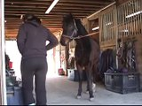 Walk The Line being groomed, 2006 Morgan Gelding for sale, Morgan horse for sale