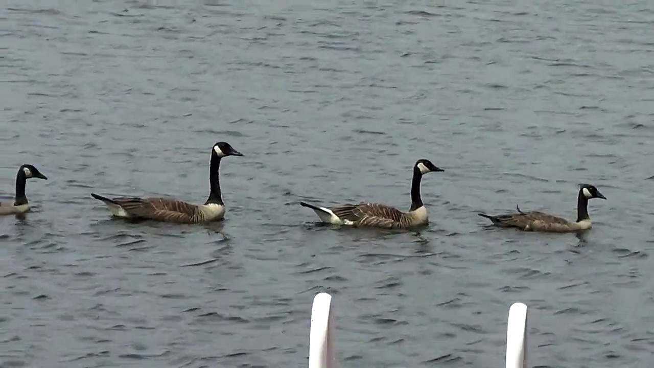 Canada Geese on Parade