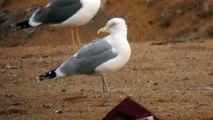 17.1.14 Goéland argenté (Larus argentatus, Herring Gull)