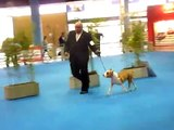 AMERICAN QUEEN THE IRIARTE - AMERICAN STAFFORDSHIRE TERRIER