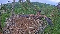 Un aigle royal foire complètement son atterrissage !