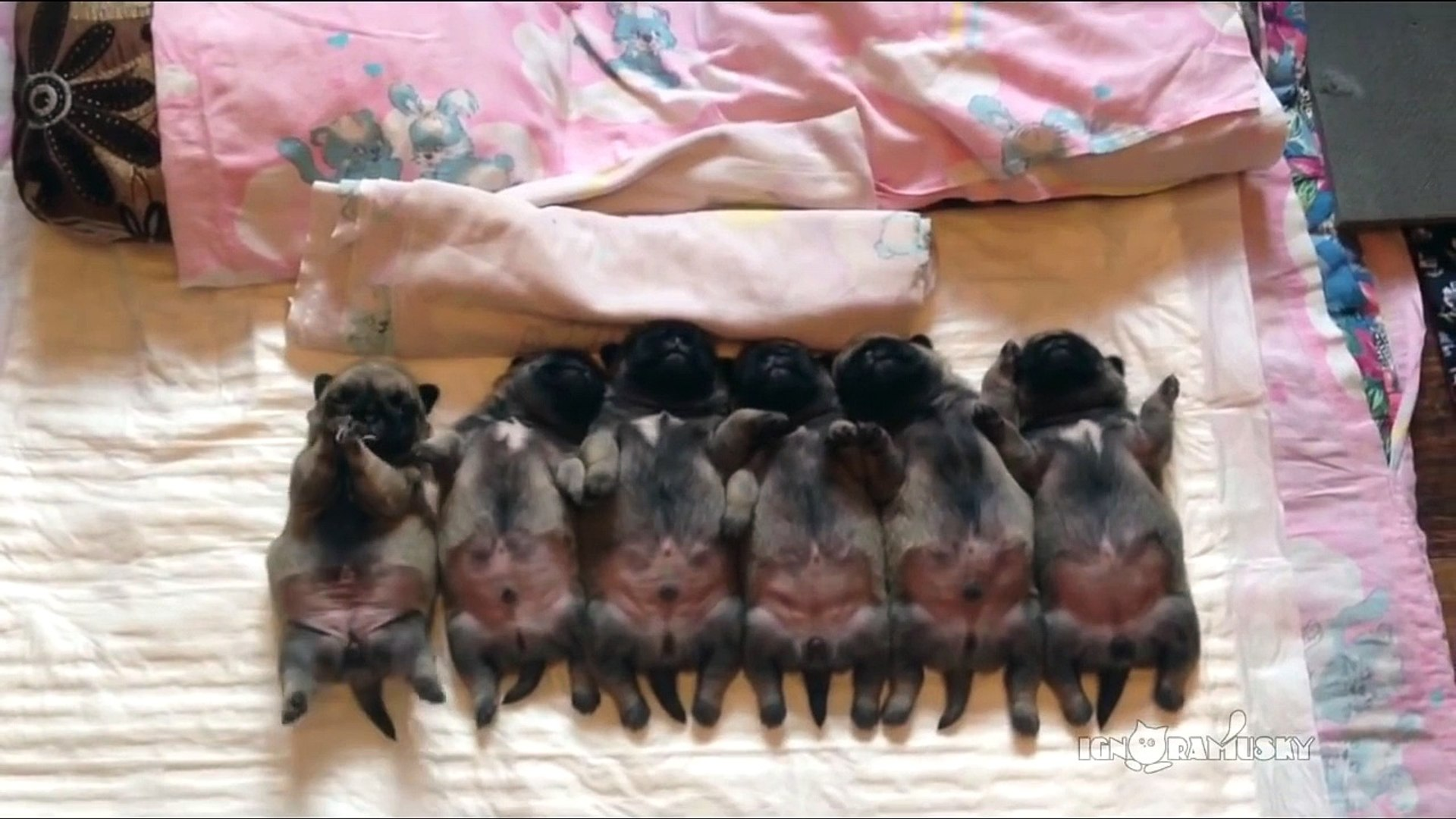 Line of sleeping puppies (pugs)  Уснувший в ряд мопсов отряд