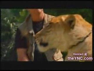 Ligre - Tion - Liger : Le Tigre Lion