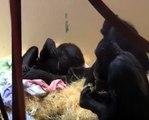 Low Res Chimpanzee Cherri Gives Birth to Twins at Monkey World 25 9 2013 © PPPLtd 1