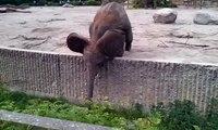 Fail ! Afrikanischer Elefant spielen im Berliner Tierpark / Elephant play in the Berlin Zoo