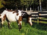 Lizzy 2013 APHA Bay Overo Filly - For Sale