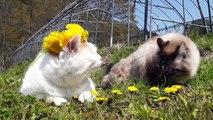 たんぽぽ  Dandelion and cat