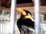 【これは凄い】携帯の着信音を真似る九官鳥