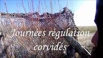 Régulation par tirs de corneilles
