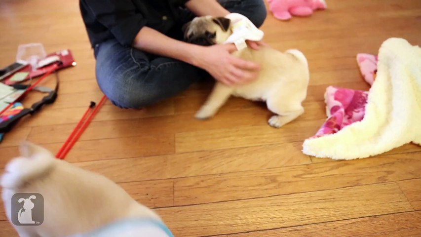 Two Pug Puppies Wrestle Under Each Other's Butts