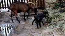 Chèvres Alpines des Tourelles - Entre 2 averses, les chevreaux en profitent pour jouer