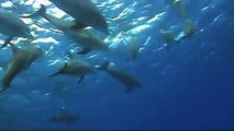 Diving with 10 Dolphins at Tobia Kebir, Safaga - Egypt August 2009