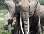 Elephants use mental maps to keep track of family members