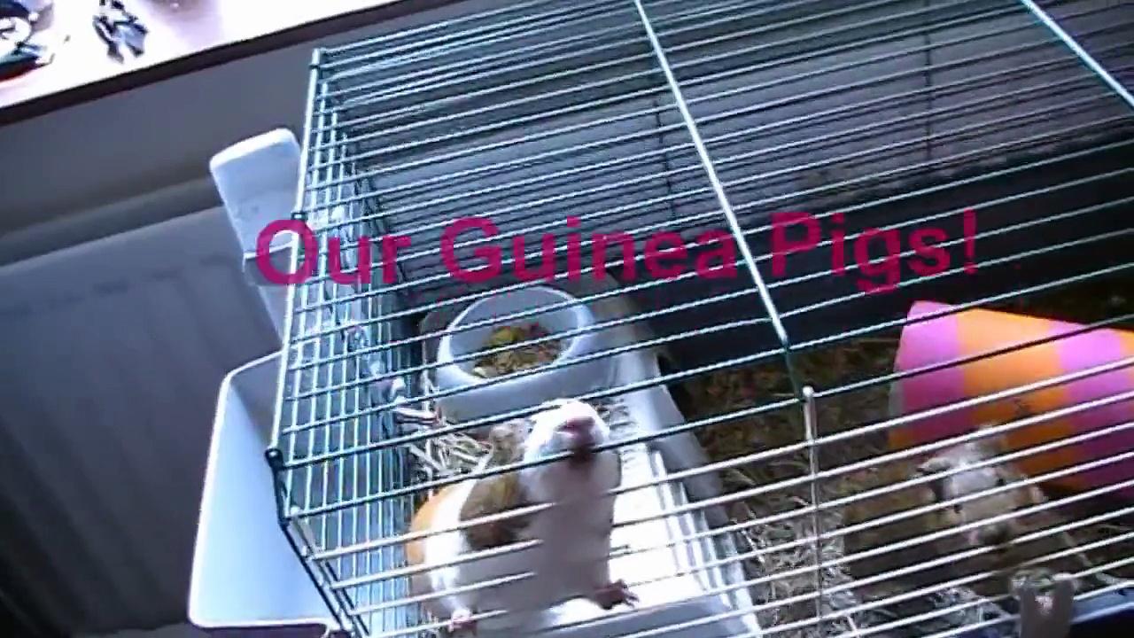 Guinea Pigs Squeak! (: