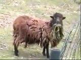 TRAINOU.com Naissance d'un mouton