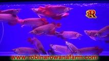 INDONESIAN SMALL RED AROWANA 25cm - 30cm (14)  By ROBIN AROWANA FARM [HD]