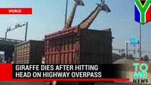 Animal cruelty: giraffe dies after hitting head on highway overpass in South Africa