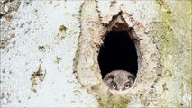 Poussin Chouette de Tengmalm / Boreal Owl Chick