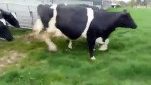 Vaches qui retrouvent l'herbe pour la 1ère fois