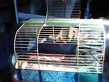 Calisson le hamster fait de la roue