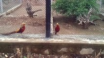 Red Golden Pheasant - Golden Pheasants or Chinese Pheasants in Islamabad Zoo