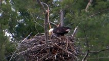 May 5, 2014, And then there were THREE eaglets, Stony Creek Eagles!!!
