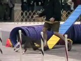 Border Collies Competing in Agility Trail