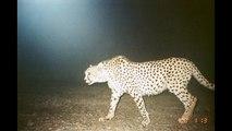 پارک ملی کویر -  Kavir National Park Camera Trap Iran persian cheetah caracal wolf desert lynx