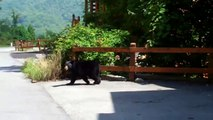 Smoky Mountain Black Bear at Ooooh Myyyy Log Cabin; Pigeon Forge Gatlinburg