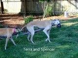 Spencer (Dutch Laser) greyhound, 11/25/00 - 3/29/13