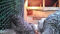 Murray McMurray Hatchery chicks 8 weeks old
