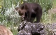 Grizzly Bears vs Wolves: Bear Fights Wolf - Animal Nature Wildlife Documentary