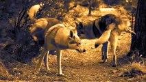 Coi lupi sulle colline genoane