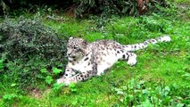 Irbis Snow Leopard in Opole Zoo Pantera Śnieżna w Zoo Opole