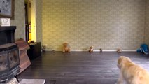 Golden Retriever Poodle mixes are funny animals. B compilation no.57 2014 vs