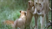 ► Lions Documentary - Cute African Lion - Documentary NatGeo | HD