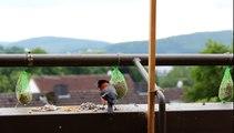 Gimpel zu Besuch auf dem Balkon
