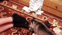 Хаски Siberian Husky sled dog Funniest Husky
