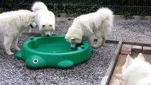 Samoyeds in water basin