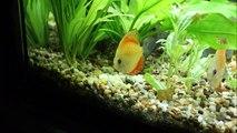 My discus fish/diszkosz halaim/meine discus fische