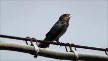 Rondini, canti d'uccelli e rumori...   umani.