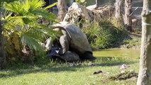 Tartarughe giganti delle Seychelles fanno all'amore! 13/08/2013